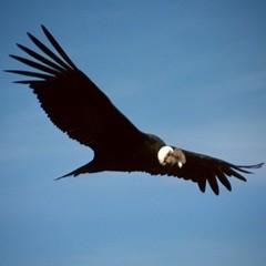 -Condor