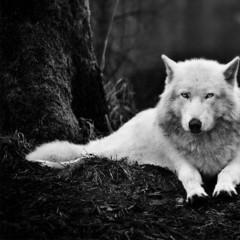 Wolf_Trauma
